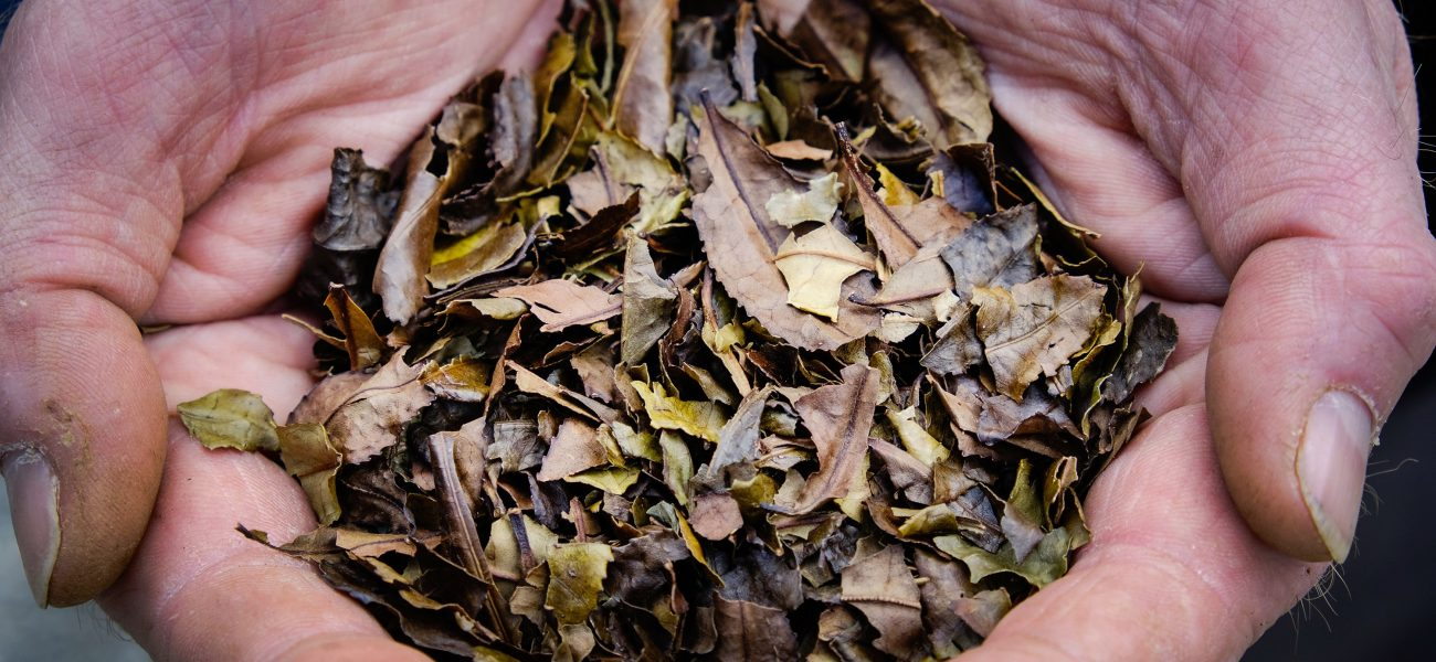Dry brown tea leaves held out in the palms of someone's hands.
