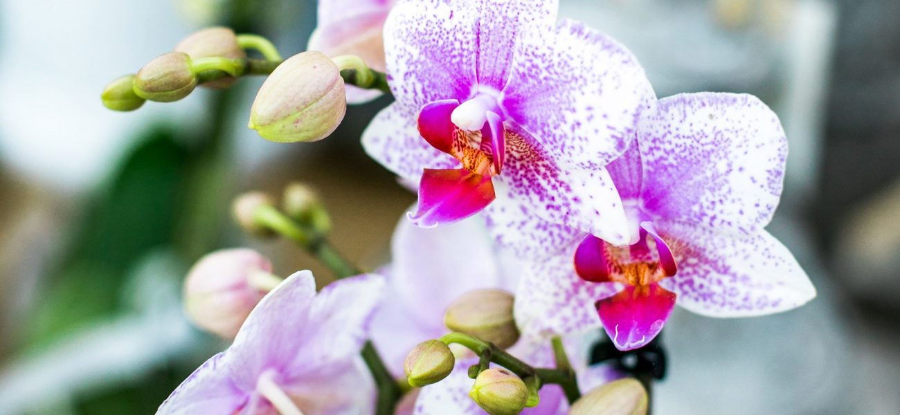 Close-up of pink orchids at the Duchy of Cornwall Nursery.