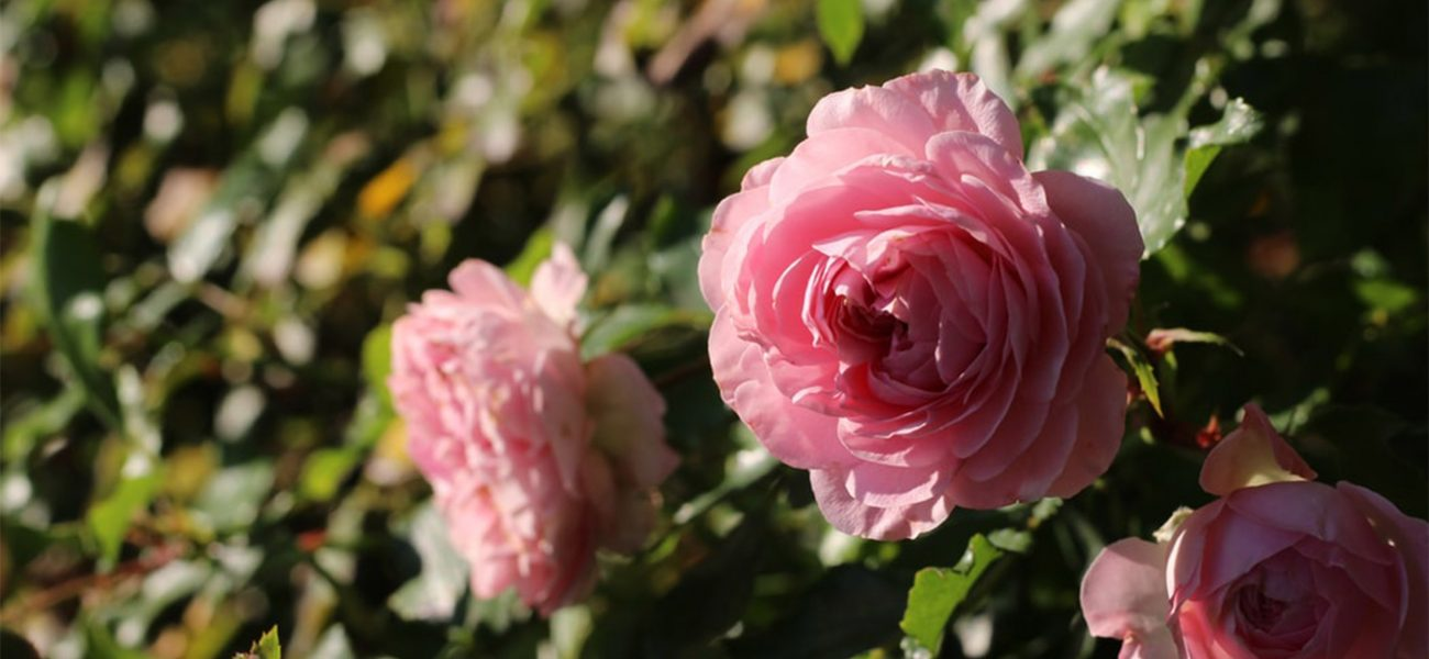 Close-up of three pink roses growing at the Duchy of Cornwall Nursery.