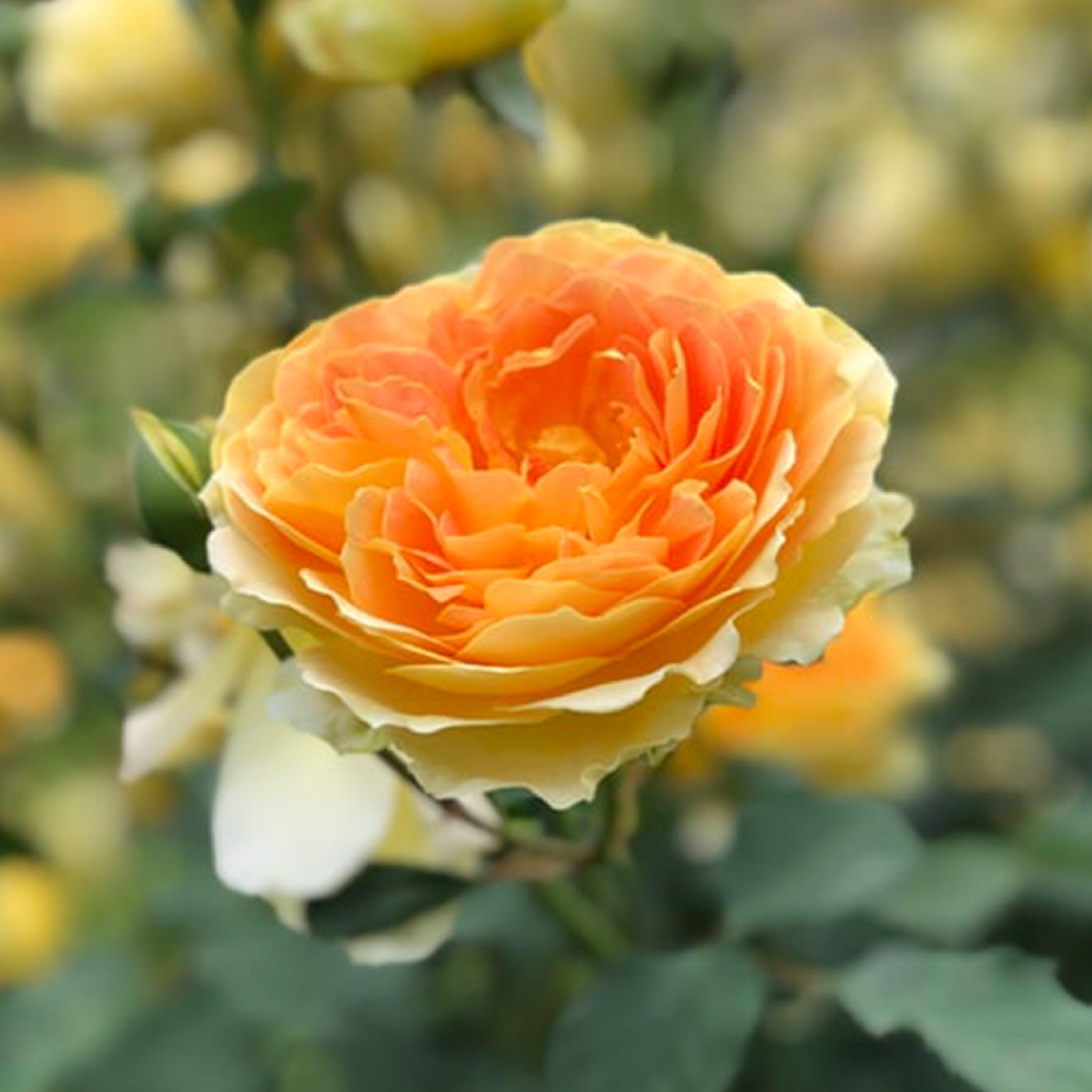 Find Cornish plants for every garden - the Duchy nursery