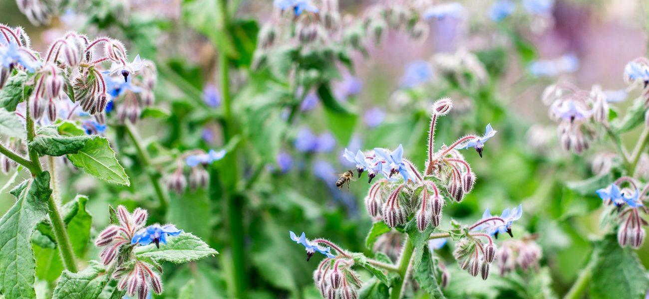 Bees feeding on wildflowers at the Duchy of Cornwall Nursery near Lostwithiel.