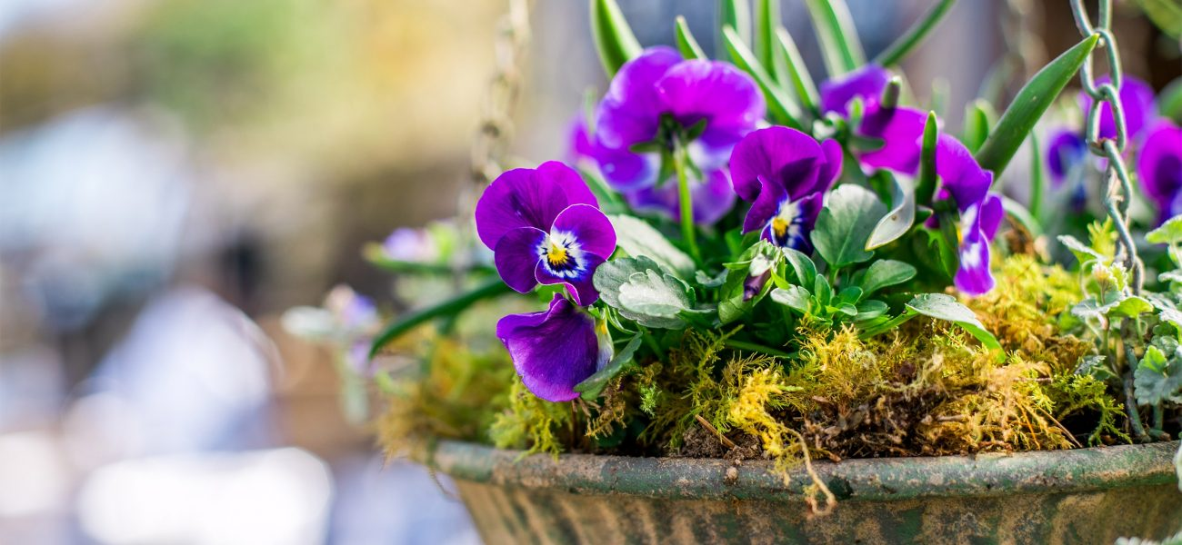 Hanging basket with purple flowers at Duchy nursery, a garden centre in Cornwall.